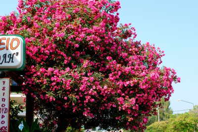 korfu pflanzen teil ii bluetenfarbe rot flora der insel. Black Bedroom Furniture Sets. Home Design Ideas