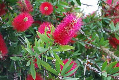 korfu pflanzen teil ii bluetenfarbe rot flora der insel korfu. Black Bedroom Furniture Sets. Home Design Ideas